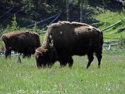 001 bison