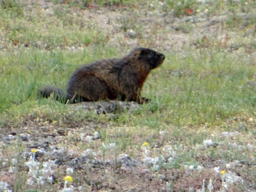 011 marmot 1