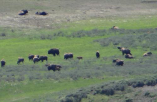 013 bison herd
