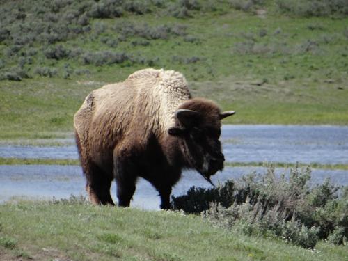 014 Grandpa bison