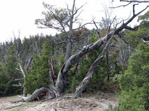 015 gnarly tree