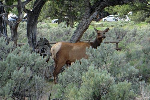 017 elk
