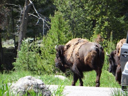 018 bison