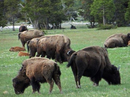 022 bison 1