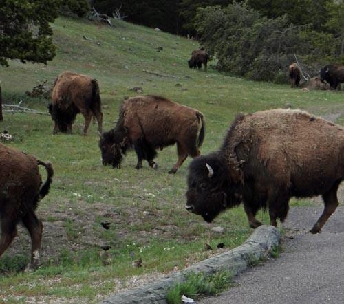 023 bison 2
