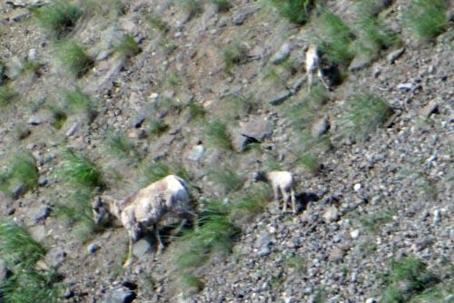 025 mountain goats